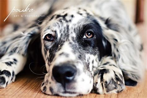 48 best images about english setter on pinterest 46 best english setters images on pinterest