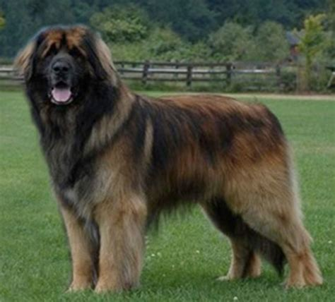 show pictures of puppies leonberger pictures at westminster show breeds puppies leonberger pictures