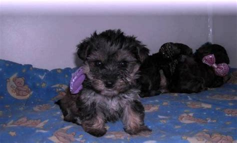 adorable yorkie puppies for adoption adorable yorkie puppies for adoption