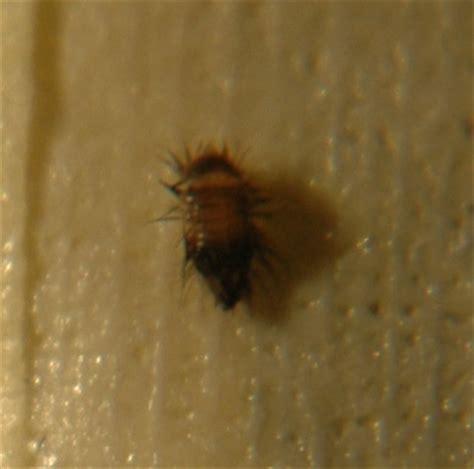 larve in casa aiuto grave infestazione di larve di coleottero in casa