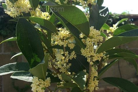 fragrant olive plant plantfiles pictures sweet olive fragrant tea olive