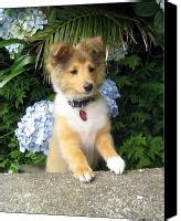 miniature collie puppies for sale border collies for sale breeds picture
