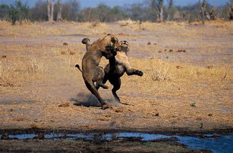 imagenes de animales salvajes de africa animales salvajes de africa para colorear car interior
