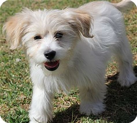 havanese and maltese mix grown yorkie poms breeds picture