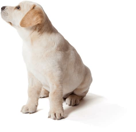 puppy guide guide dogs
