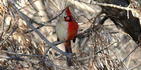 what color are cardinals this half half bird has peculiar plumage