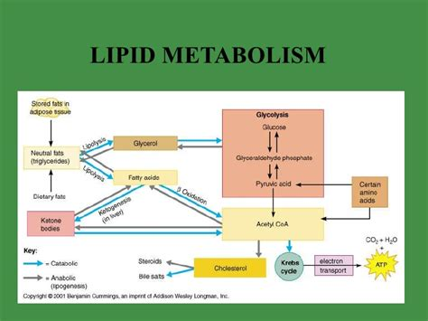 lipid metabolism diagram metabolism and nutrition