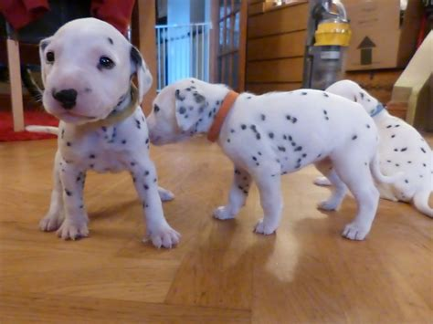 dalmatian puppies for sale dalmatian puppies for sale carlisle cumbria pets4homes