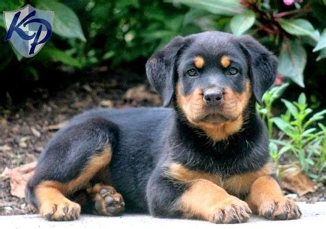 baby rottweiler for sale craigslist best 25 baby rottweiler ideas on rottweiler puppies adorable puppies and