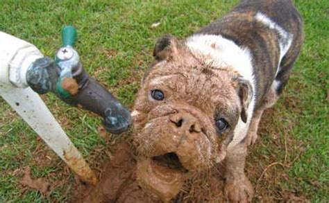 why dogs eat dirt why do dogs eat dirt pedegru