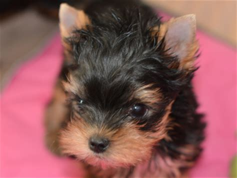 looking for yorkie puppies for sale yorkie breeders artistry yorkies