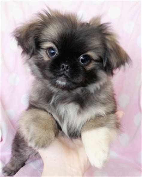 teacup pekingese puppies for sale 25 best ideas about pekingese puppies on pekingese dogs puppies and