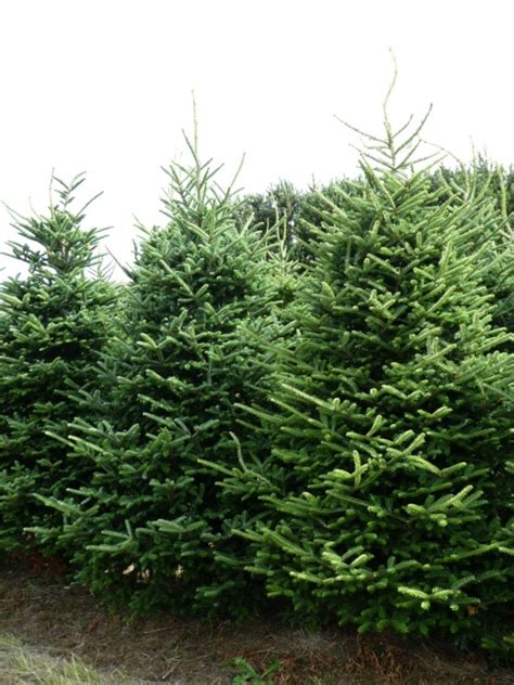 where to buy a real christmas tree in belfast real fraser fir trees freshly cut trees