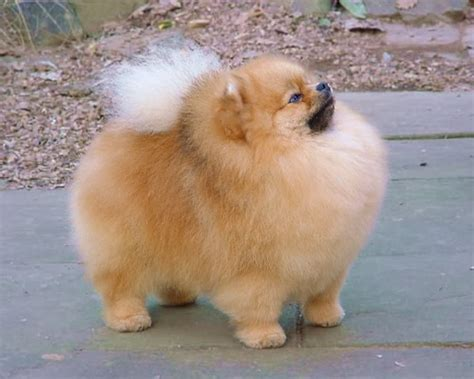 pomeranian puppy temperament pomeranian puppies rescue pictures information temperament characteristics