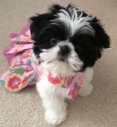 should i get a shih tzu 17 best ideas about shih tzu on shih tzu puppy shih tzu and shih tzu