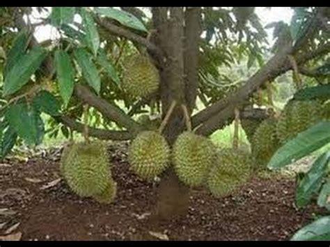 Bibit Durian Musang King Sambung Sisip clip hay teknik sambung sisip durian unggul