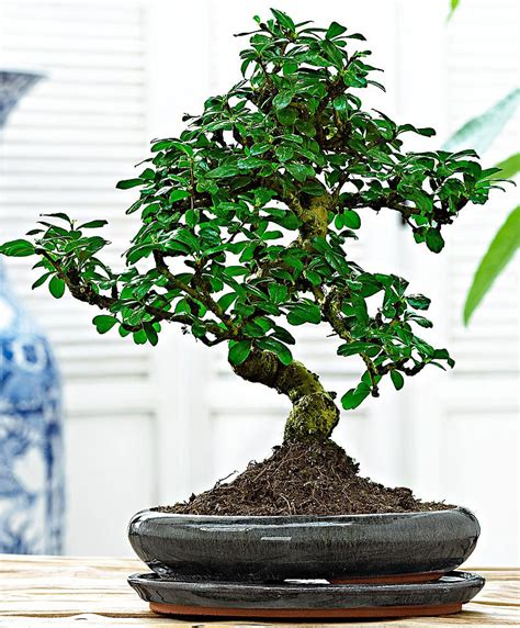 bonsai fiori bianchi buy indoor plant bonsai carmona microphylla at www