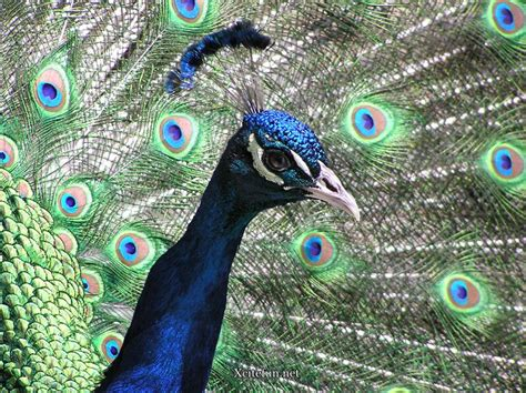 peacock blue beautiful green blue and white peacock xcitefun net