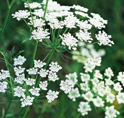small white flower plant is unbrella like die sch 246 nsten wei 223 en blumen f 252 r ihren garten