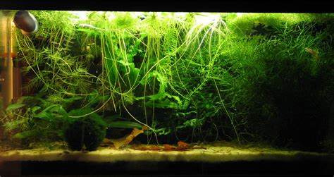vasche aperte per acquari pianta galleggiante con le radici pi 249 lunghe forum