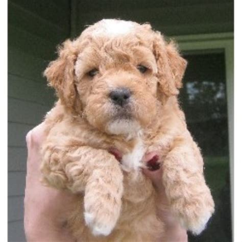 goldendoodle puppies nc rescue goldendoodle puppies for sale in wisconsin breeds picture