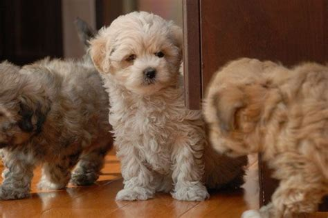 Shih Poo Shedding by Shih Poo Facts Temperament Diet Puppies