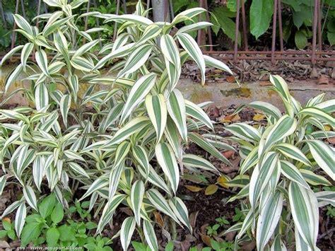 tronchetto pianta appartamento tronchetto della felicit 224 piante appartamento dracaena