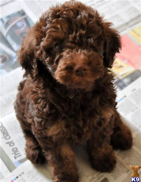 mini labradoodles oklahoma miniature labradoodles labradoodle puppy for sale in the