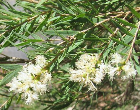 Tanaman Jahe Kebo daftar nama ilmiah tumbuhan tanaman bibitbunga