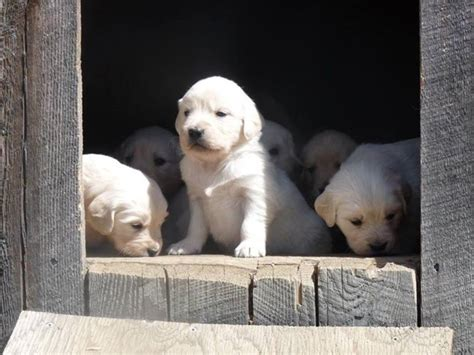 golden retriever puppies for sale nh golden retriever puppies nh dogs in our photo