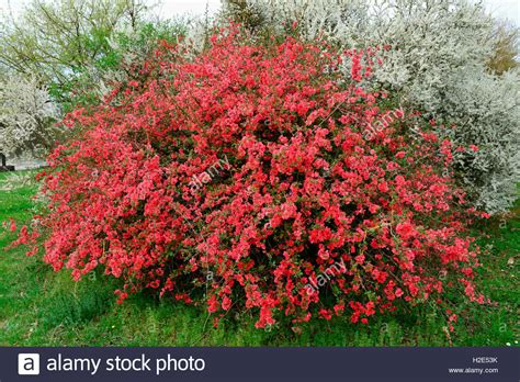 quince bush japanese quince chaenomeles japonica flowering bush germany stock photo 122013239 alamy