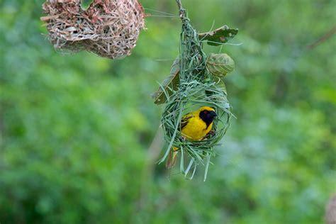 where do weaver birds live 28 images sociable weaver