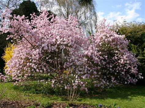 sternmagnolie kaufen rosa sternmagnolie leonard messel magnolia loebneri