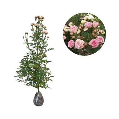 Jual Bibit Bunga Mawar Mini jual kebun bibit mawar baby tanaman bunga