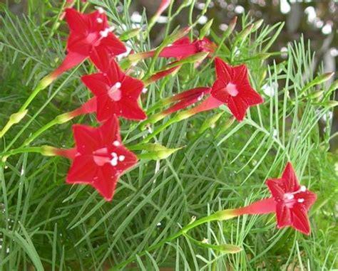 fiori con la u q di quamoclit pennata ipomea quamoclit ricante