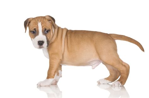 shar pei pitbull mix puppies amazing information about the shar pei pit bull mix breed