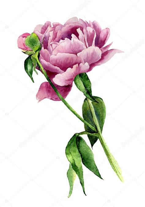 fiore di peonia fiore di peonia dell acquerello illustrazione floreale