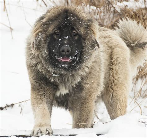 caucasian shepherd puppy a list of mountain breeds with amazing information and pictures