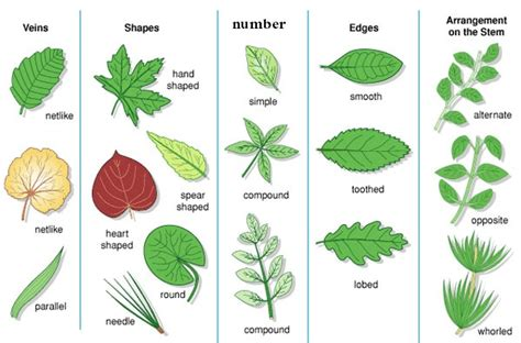 types of foliage plants types of leaves www pixshark images galleries with