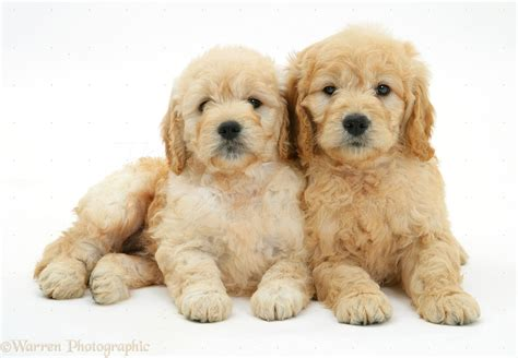 goldendoodle puppy biting mini goldendoodle puppies white www pixshark