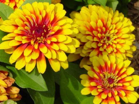 fiori estivi da giardino fiori estivi da giardino fotogallery donnaclick