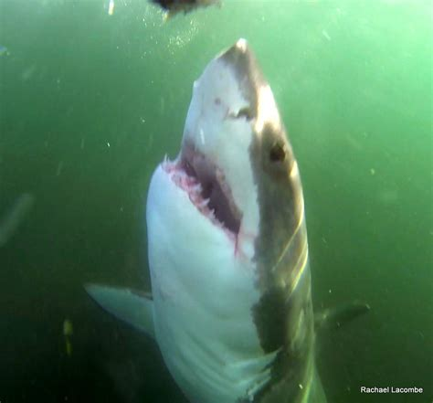 gopro shark shark diving with gopro shark eco charters