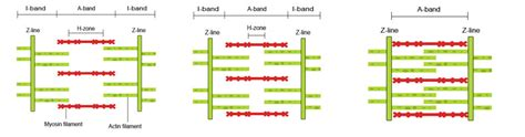 filament diagram sliding filament theory diagram 28 images fitness for