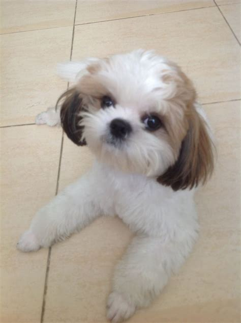 haired shih tzu 16 best shih tzu hair cuts images on shih tzus baby shih tzu and hair cut