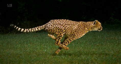 how fast is a how fast can a cheetah run it guide