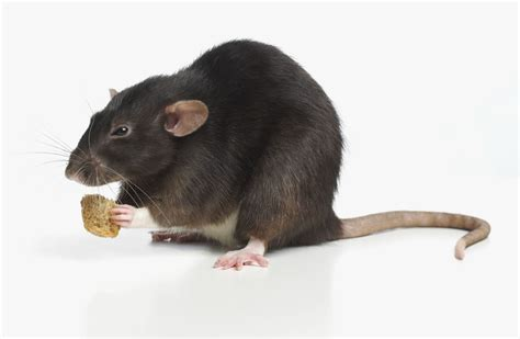 what do pet rats eat feeding rats