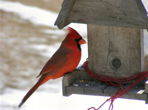 Cardinal Bird Feeders file northern cardinal at feeder jpg wikimedia commons