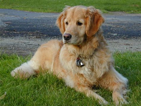 colebrook golden retrievers 20 best images about dogs on villas home and shelters
