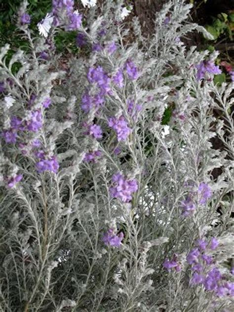 silver foliage plants australia 17 best images about australian plants on