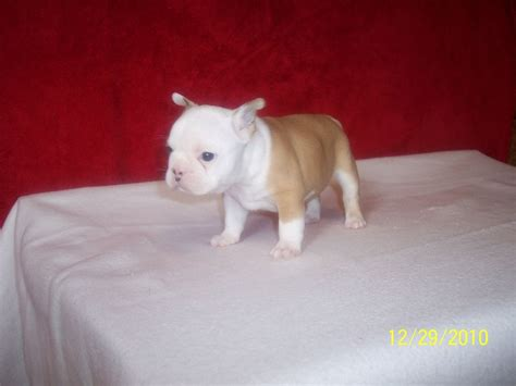 frenchton puppies for sale near me frenchton puppies for sale 400 breeds picture